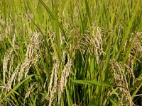 肉巻きおにぎりの「こだわり」お米:宮崎県えびの市の米「ひのひかり」